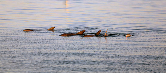 Delfingruppe Australienn_07_1463