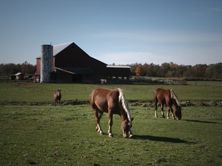 Horse grazing in pasture on Amish Farm