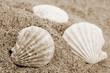 roleta: Shells
