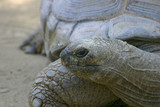 Horizontal image of a Aldabra Giant Tortoise poster