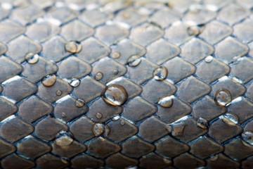 peau de serpent, couleuvre