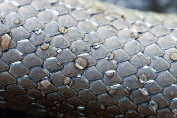 peau de serpent en macro, couleuvre grise