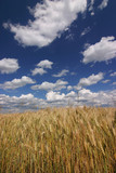 grain against blue sky with amazing white clouds poster