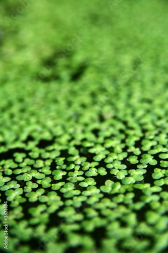 Green aquatic plant closeup picture