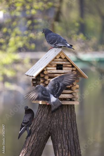 three pigeons by a starling-house
