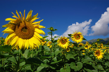 many sunflowers under blue sky