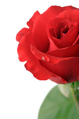 waterdrop on a red rose