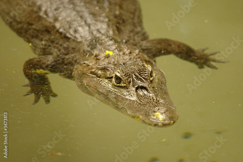 An endangered Chinese alligator