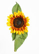 A single sunflower on a white background