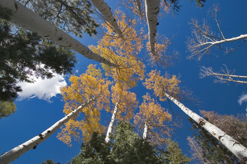 High trees with the yellow autumn leaves
