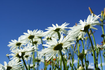 A bunch of daisies show from a low angle