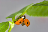 Small ladybird with two points on the green leaf poster