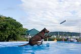 Black Labrador Retriever dog, dock diving.  poster