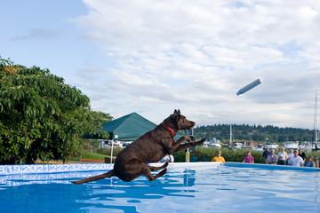 Black Labrador Retriever dog, dock diving.