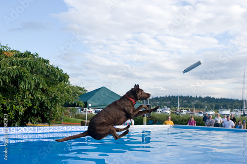 Black Labrador Retriever dog, dock diving.