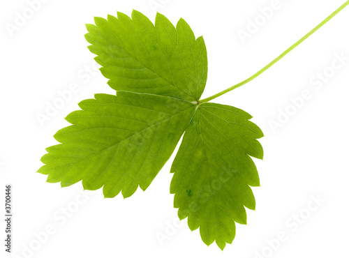 The green leaf of wild strawberry on a white background