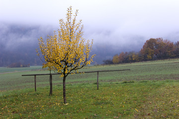 A small apple tree with yellow leaves in front of fields