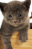 Cute Grey Kitty poster