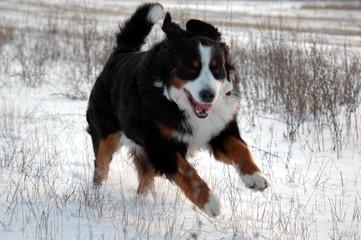 dog berns dog bouvier bernois