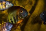 aquarium fishes poster