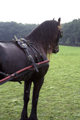Friesian carriage horse
