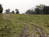 Sheep grazing in a pasture with muddy tracks in a dirt road. poster