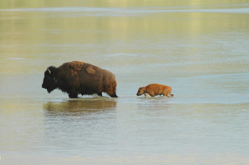 A mother and baby bison cross a shallow river