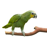 Green parrot perched on a branch poster
