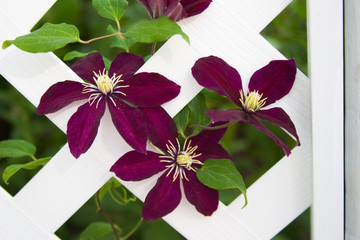 clematis flowers climb on gazebo lattice in the garden