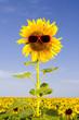 sunflower in sunglasses