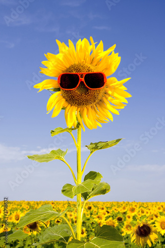 sunflower in sunglasses