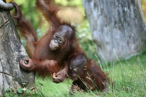 Two young orang utan babies playing together in the zoo Poster