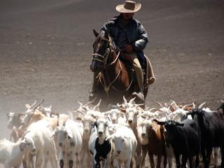 Goats herd