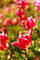 Grunge Tulip