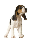 Beagle in front of white background poster