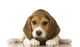 Fototapety Beagle in front of white background