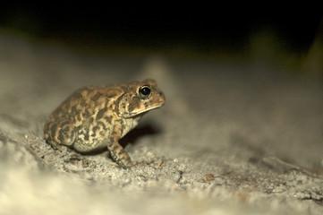 Small Frog at night wildlife