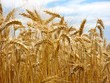 Leinwandbild Motiv schönes sommerliches Getreidefeld bereit für die Ernte