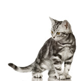 British Shorthair in front of a white background poster