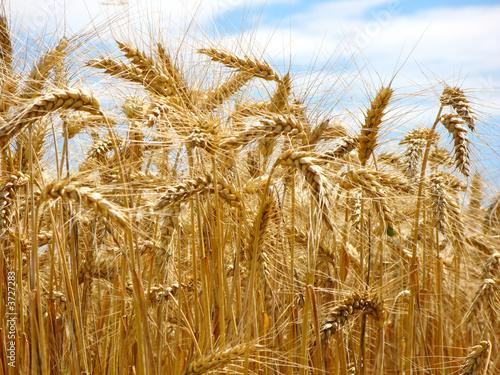 schönes sommerliches Getreidefeld bereit für die Ernte