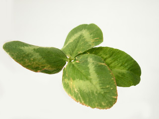 four-leaf trefoil