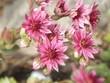 Houseleek-flowers