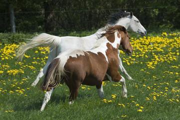 Horse race through meadow
