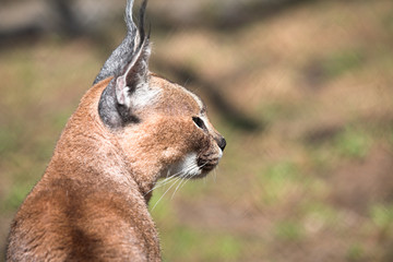 Young caracal sitting in the autmn meadow