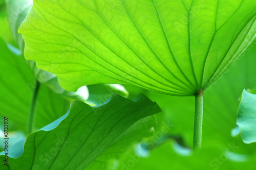 Staande foto Lotusbloem Lotus leaves