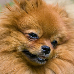 Portrait of brown Spitz dog.