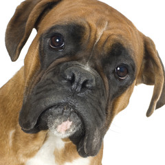 close-up on a Boxer in front of a white background