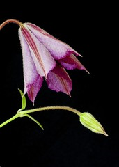 Clematis Flower on a Black Background