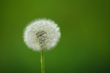 dandelion on green