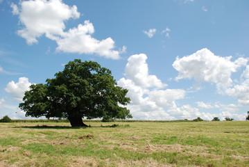 Tree in field in sunshine